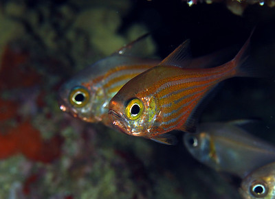 Bullseyes, (Pempheris ornata)