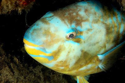Blue-barred Parrotfish Scarus ghobban  Gold Coast Seaway
