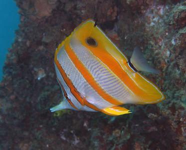 Beaked Coralfish Chelmon rostratus Cochrane Artificial Reef, Queensland, Australia