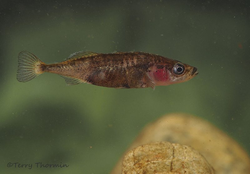 Three-spined Stickleback from Little River Pond