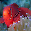 Anemone Fish (clownfish)