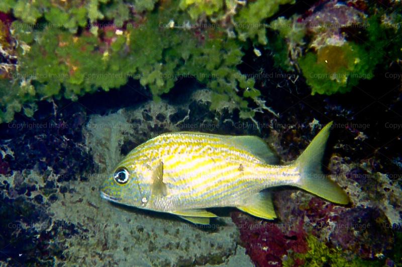CRay-Fish--4