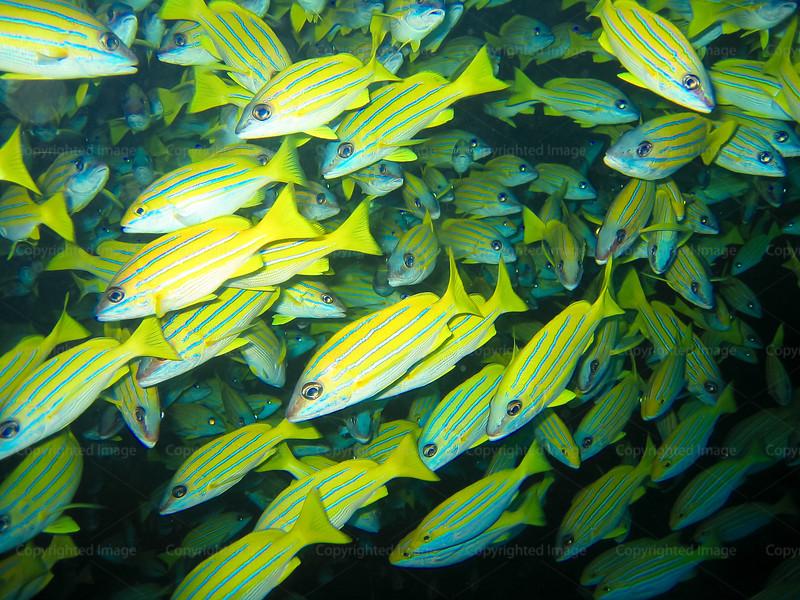 CRay-Fish-142