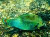 CRay-Fish-1447