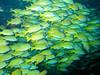 CRay-Fish-141