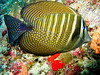 CRay-Fish-154
