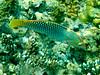 CRay-Fish-1501