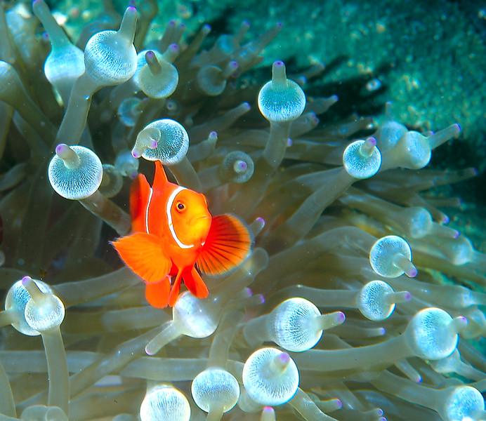 Maroon Anemonefish (Clownfish)