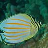 Ornate Butterflyfish (Chaetodon ornatissimus)