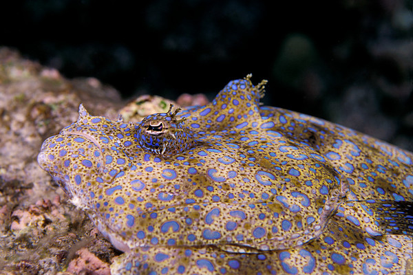 peacock flounder, Bothus mancus, Big Island of Hawaii ( Central Pacific Ocean )