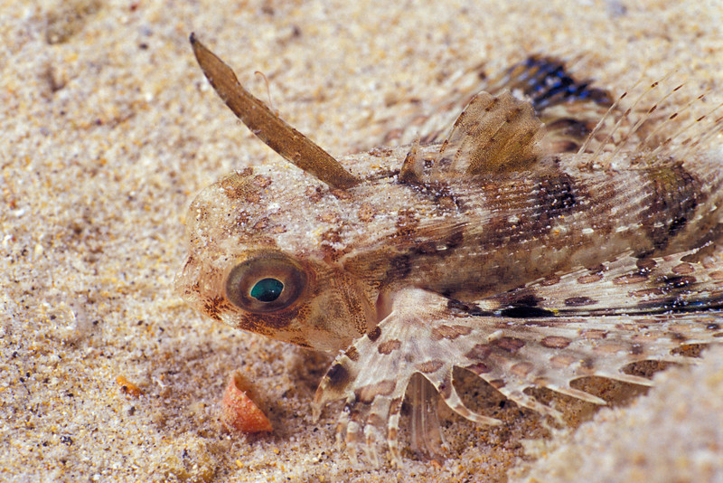 flying gurnard or helmet gurnard, Dactyloptena orientalis, juvenile, Hawaii ( Central Pacific Ocean )
