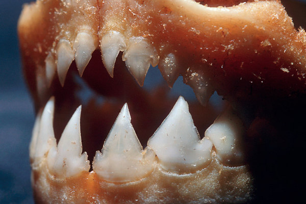 jaws and teeth of a piranha of the family Characidae, native to the Amazon and Essequibo River basin