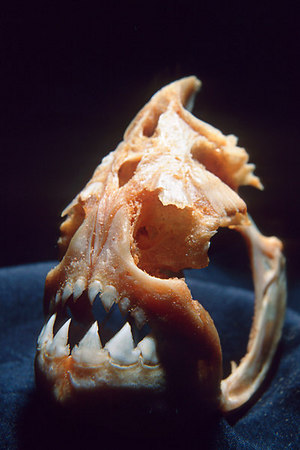 skull of a piranha of the family Characidae, disproportionately large lower mandible suggests a powerful jaw muscle, native to the Amazon and Essequibo River basin