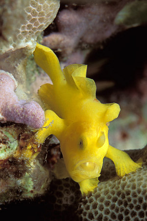 juvenile Commerson's frogfish, Antennarius commersoni,<br /> Big Island of Hawaii ( Central Pacific Ocean )