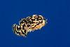sargassumfish or sargassum frogfish, Histrio histrio, open ocean, Big Island of Hawaii ( Central Pacific Ocean )