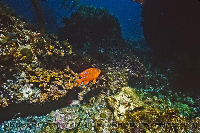 Juvenile Garibaldi - Dive Log 1079 Anacapa Island.