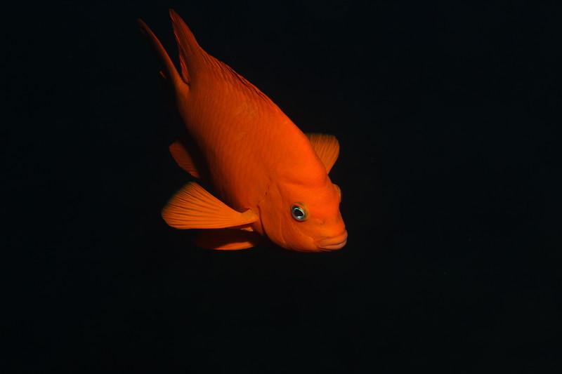 Garibaldi - Hypsypops rubicundus