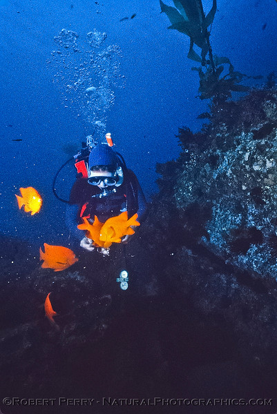 A diver feeds a group of Garibaldi some fresh sea urchin roe - Dive Log 965 - Middle Coronado Island, Baja California.