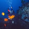 A diver feeds a group of Garibaldi some fresh sea urchin roe - Dive Log 965 - Middle Coronado Island, Baja California.