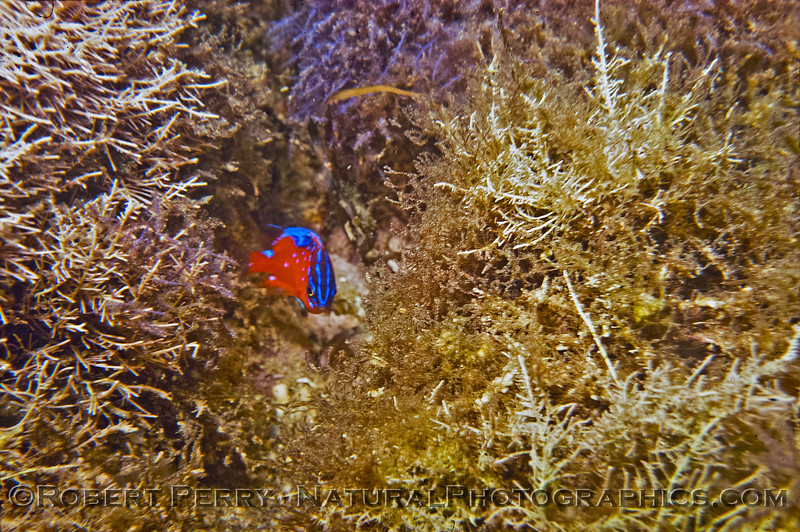 Juvenile Garibaldi - Dive Log 233 near Popotola, Baja California, Mexico.