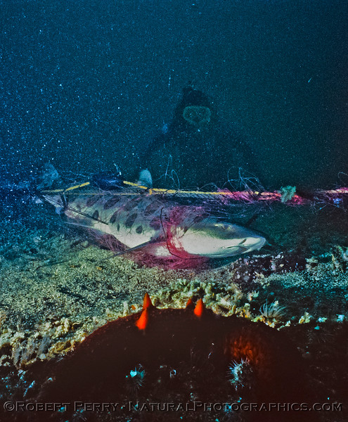 Diver and Leopard shark