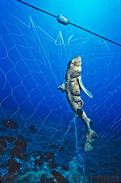 Horned shark