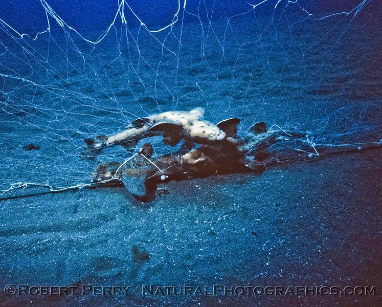 Horned shark pile