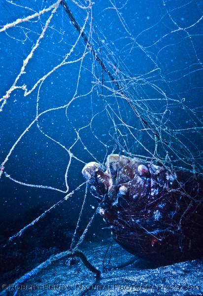 California halibut - mouth - decomposing