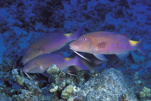 blue goatfish goatfish or ' moano ukali-ulua' ( Hawaiian ), <br /> Parupeneus cyclostomus,foraging,<br /> Big Island of Hawaii ( Central Pacific Ocean )<br /> 1