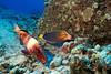 manybar goatfish or moano ( H ), Parupeneus multifaciatus, forages with yellowtail coris or hinalea aki-lolo ( H ), Coris gaimard, Big Island of Hawaii ( Central Pacific Ocean )