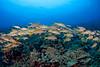 yellowfin goatfish or weke 'ula  ( H ), Mulloidichthys vanicolensis, Big Island of Hawaii ( Central Pacific Ocean )