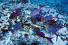 blue goatfish goatfish or moano ukali-ulua (H), <br /> Parupeneus cyclostomus, foraging,<br /> Big Island of Hawaii ( Central Pacific Ocean )
