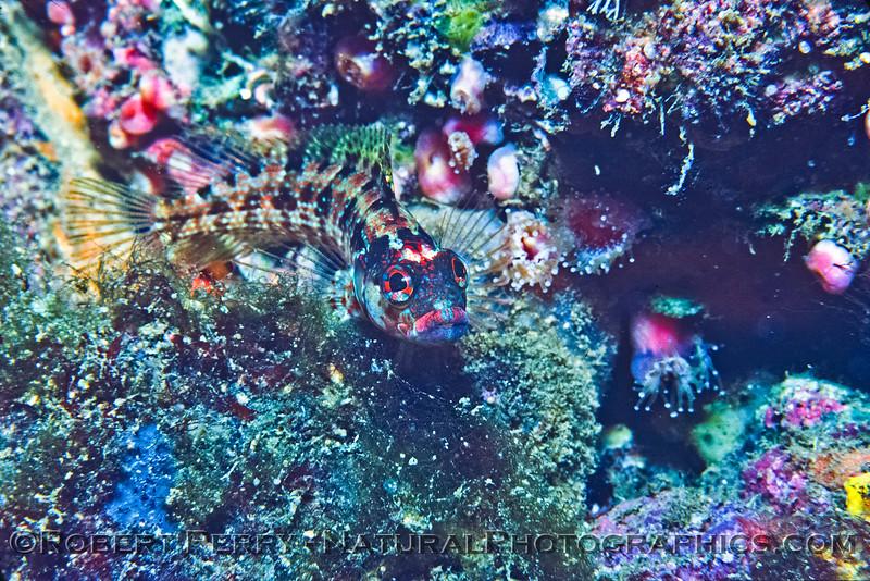 The island kelp fish (blenny) - Anacapa Island Dive Log 995.