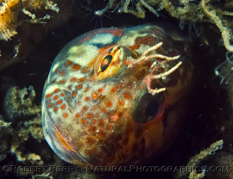 Image 1 of 8:  Hypsoblennius gilberti in a hole under the Santa Monica Pier.