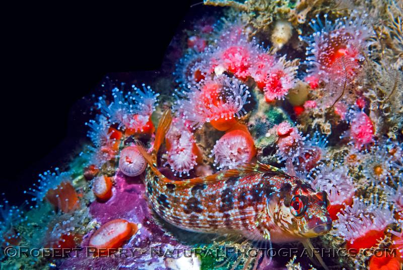 The island kelp fish (blenny) - Santa Cruz Island Dive Log 845.