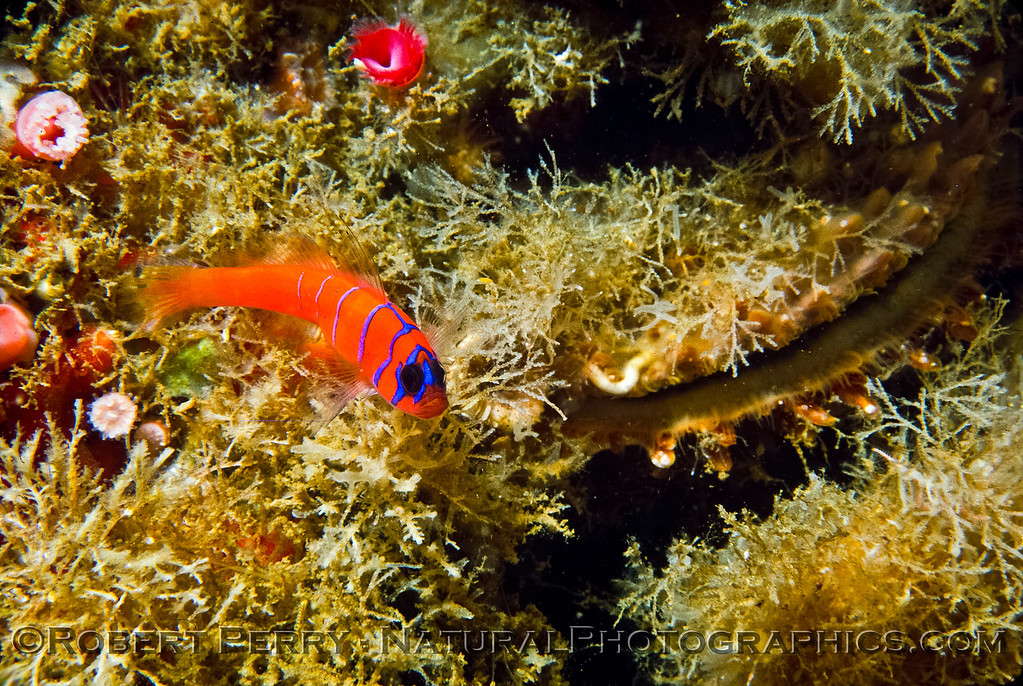 Lythrypnus dalli, Blue-Banded Goby, perched near a male rock scallop Crassodoma gigantea.