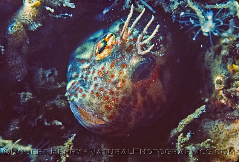 Image 6 of 8:  Hypsoblennius gilberti in a hole under the Santa Monica Pier.