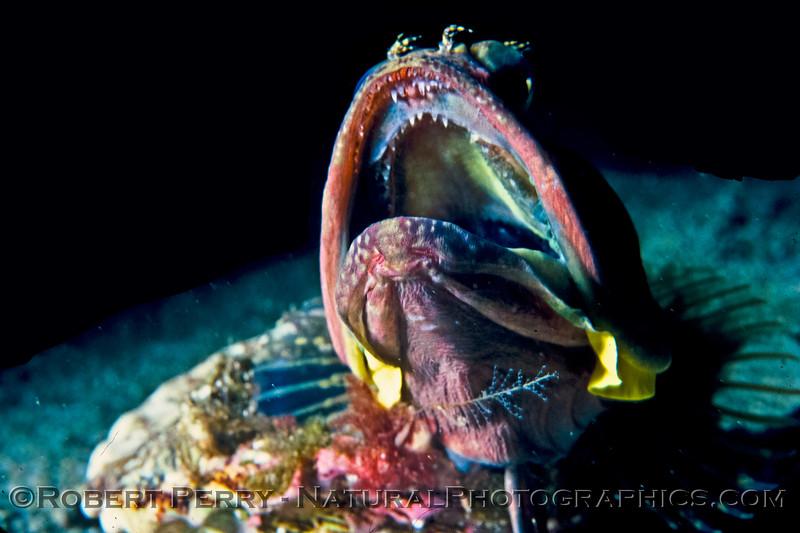 Image 1 of 2:   Chin and mouth of an aggessive Sarcastic Fringehead (blenny), Neoclinus blanchardi, Santa Cruz Island Dive Log 1059.