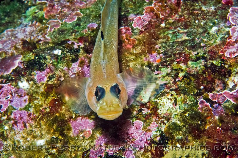 A Black-Eyed Goby - Santa Cruz Island Dive Log 639.   Formerly known as Coryphopterus nicholsii, renamed in 2002 to Rhinogobiops nicholsii.