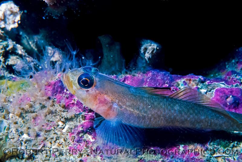 A Black-Eyed Goby - Santa Cruz Island Dive Log 845.   Formerly known as Coryphopterus nicholsii, renamed in 2002 to Rhinogobiops nicholsii.