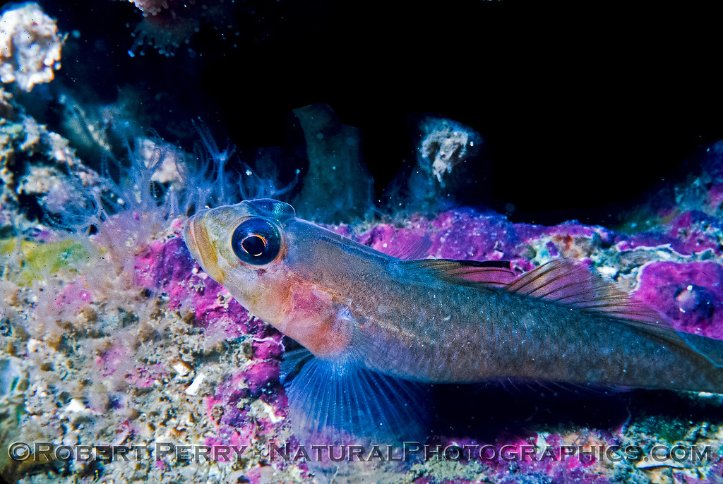 A Black-Eyed Goby - Santa Cruz Island Dive Log 845.   Formerly known as Coryphopterus nicholsii, renamed in 2002 to Rhinogobiops nicholsii.