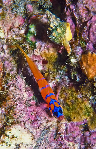 Lythrupnus dalli (Blue-Banded Goby) - Dive Log 978 Anacapa Island.