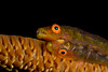whip coral gobies, Bryaninops yongei, likely a mated pair, have a commensal relationship with corals of the family antipathidae, Hawaii ( Central Pacific Ocean )