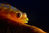 the whip coral goby, Bryaninops yongei, has a commensal relationship with corals of the family antipathidae, Hawaii ( Central Pacific Ocean )