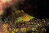 golden goby, Priolepis aureoviridis, Hawaii ( Central Pacific Ocean )