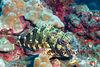 stocky hawkfish or po'opa'a (H), Cirrhitus pinnulatus, Big Island of Hawaii ( Central Pacific Ocean )
