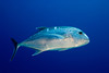 Giant trevally or Ulua aukea (H), Caranx ignobilis, are the largest species of jack, Kona, Hawaii ( Central Pacific Ocean )