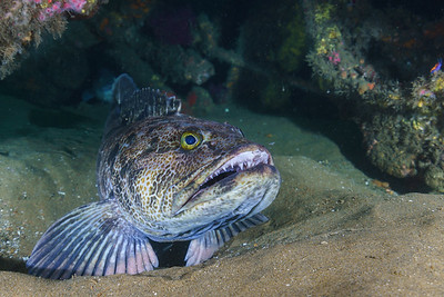 Ohhh my, what big teeth you have!  The Lingcod is a favorite among sportfishermen on the West Coast. Lingcod flesh is naturally blue green prior to cooking.