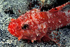 decoy scorpionfish, Iracundus signifer, Hawaii ( Central Pacific Ocean )