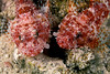 pair of decoy scorpionfish, Iracundus signifer, Hawaii ( Central Pacific Ocean )
